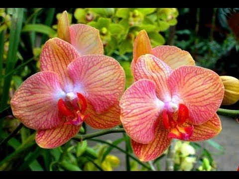 Фото орхидеи, красивые фотографии домашних орхидей