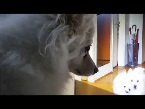 German Spitz: Kissing & Licking Dogs on The Monitor