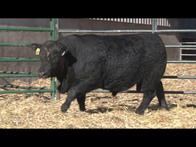 Schiefelbein Angus Farms Lot 230