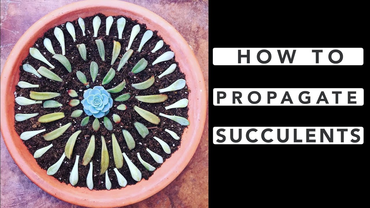 how to propagate succulents youtube
