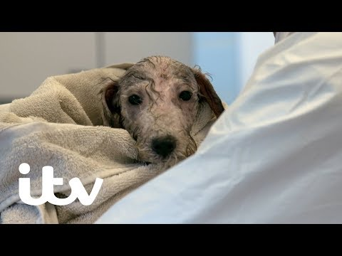 Paul O'Grady: For The Love of Dogs | Humphrey the Bedlington Terrier Pup Gets a Bath | ITV