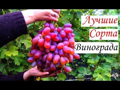 Самые лучшие сорта винограда | преображение | выращивание | винограда | описание | виноград | аркадия | сортов | лучшие | сорта | сорт