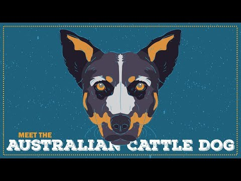 Breed Spotlight: the Australian Cattle Dog