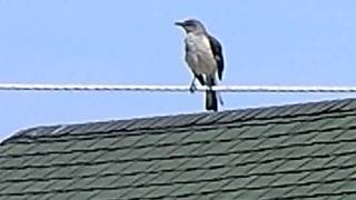 OBX Mocking Bird imitates all kinds of birds including sea gulls........