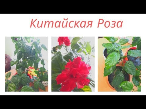 Гибискус - Китайская Роза уход в домашних условиях. Пересадка. Размножение