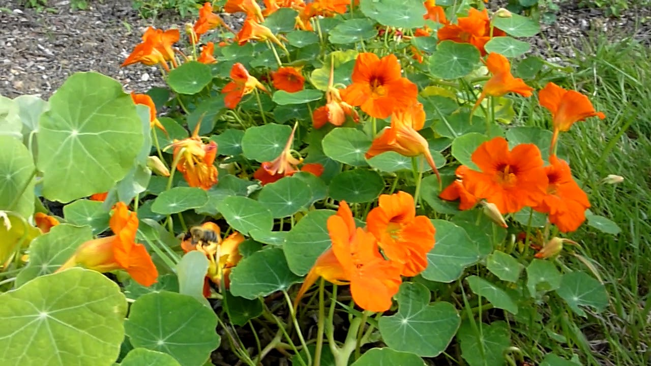 How to attract BEES / POLLINATORS & get a tonne of edible NASTURTIUM  flowers and leaves for life!