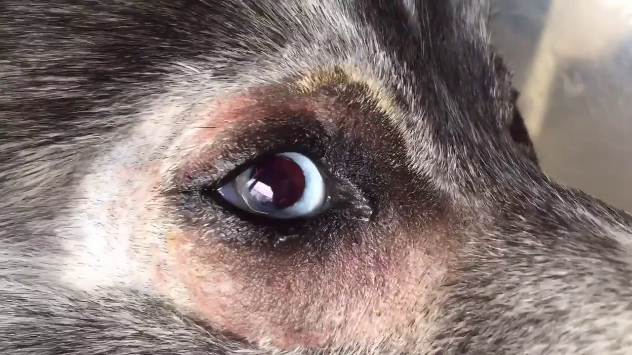 Dog Cataracts Surgery Recovery You