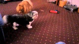 Hyperactive Pomeranian Vs. Senile Shih-tzu