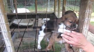 Bo X 3 Litter: 9 Weeks; Beagle; Spaniel; Dachshund Mix