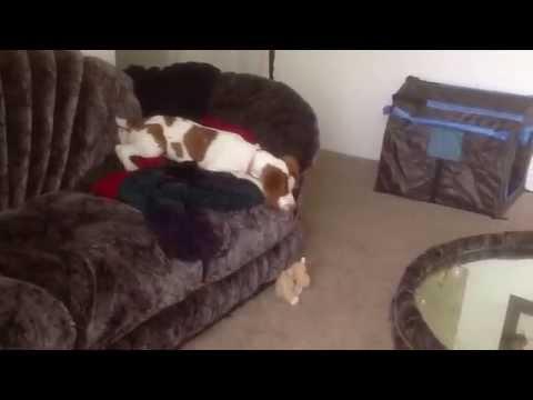 Crazy Brittany (spaniel) puppy dog playing