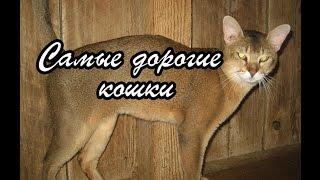 Самые дорогие элитные породы кошек