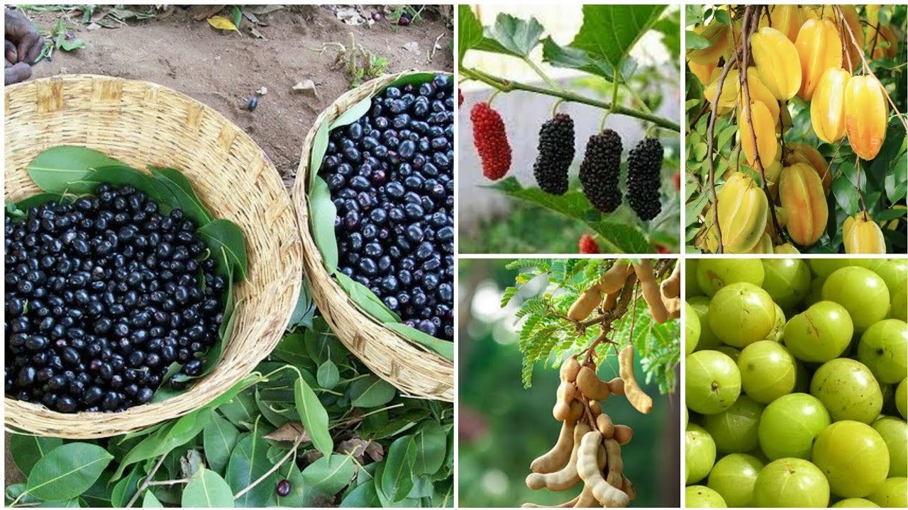 Wild Sour Edible Fruits Of India || Indigenous Fruits || Tribal Area Fruits