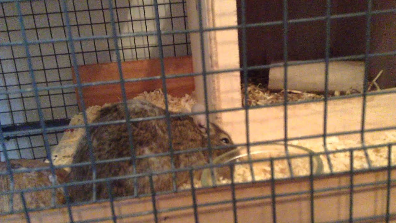 Degu cage do-it-yourself: description, device, features and reviews 92
