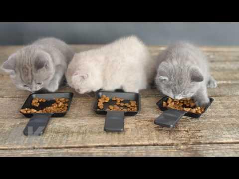 British Shorthair Gray and Lilac kittens eating pet food at 7 weeks - 4K