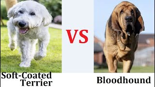 Top 10 Best Dog Breeds In The World   Comparison of Bloodhound And Soft Coated Dog   Best Dogs  