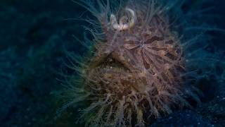 Strait out of Lembeh - Frogfish