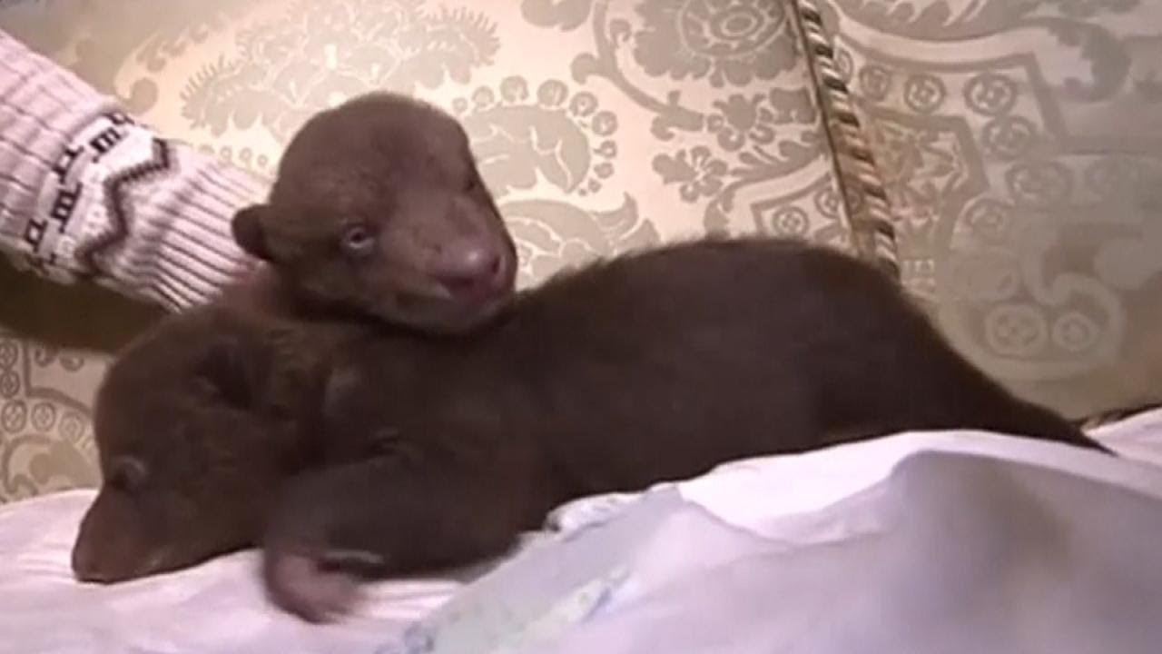 Newborn Baby Bear Cubs Found in Dumpster - YouTube