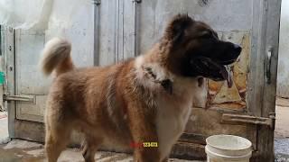 اول مرحلة لكلب القوازي بدء بالحراسه بعمر عام و ٩ شهور مع جمال العمواسي