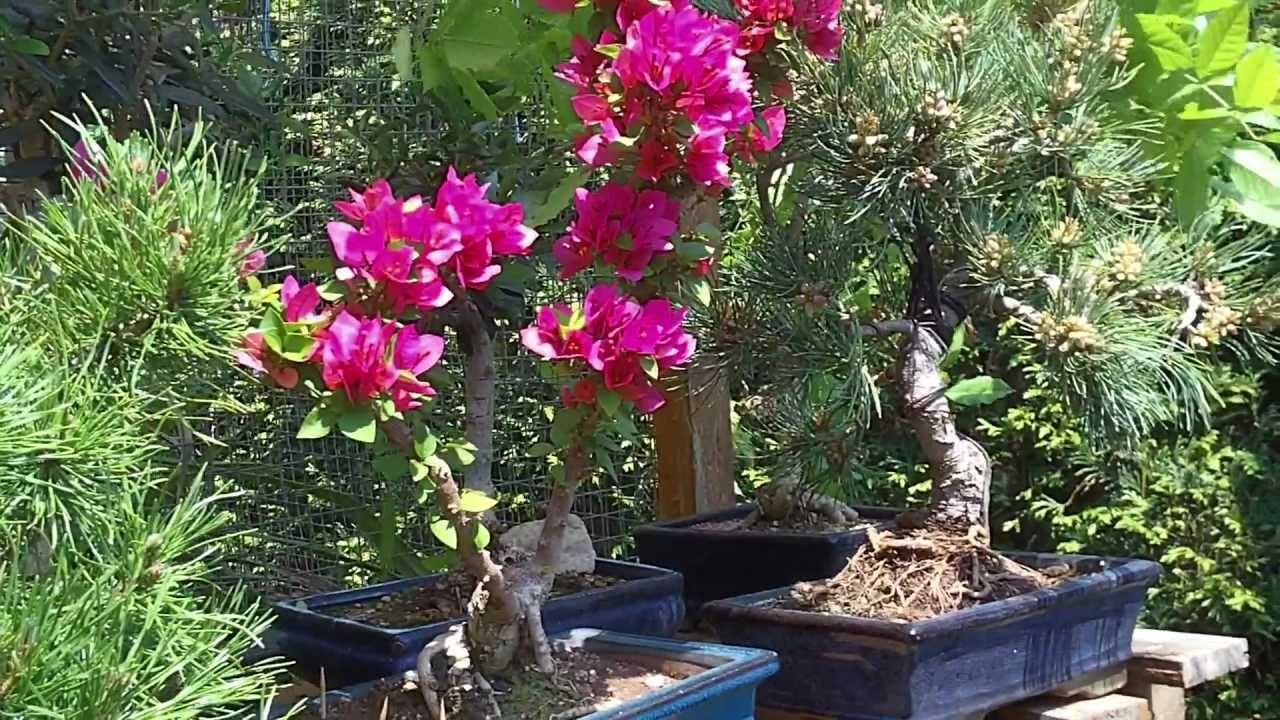 Bonsai de buganvilla en flor abril 2011 youtube for Bonsai de jardin