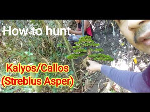 Paano Mag Hunt Ng Bonsai/how To Hunt Bonsai  Callos/kalyos (streblus Asper)