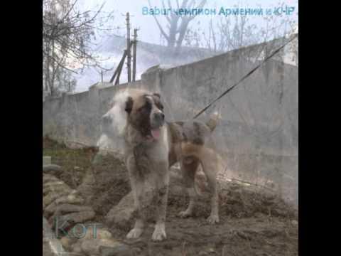 Волкодавы Армении-лучшие из лучших часть 1