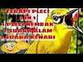 Masteran Pleci in Suara Pleci Nembak Suara Air Mengalir Di Alam Suara Kenari Gacor Durasi Panjang  Mp3 - Mp4 Download