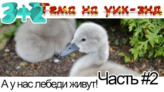 а у нас лебеди живут. Лебеди Домашние Животные. Рождение маленьких лебедят на озере Валензее