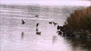 Download Flying Common Snipes / Vliegende Watersnippen (Gallinago gallinago)