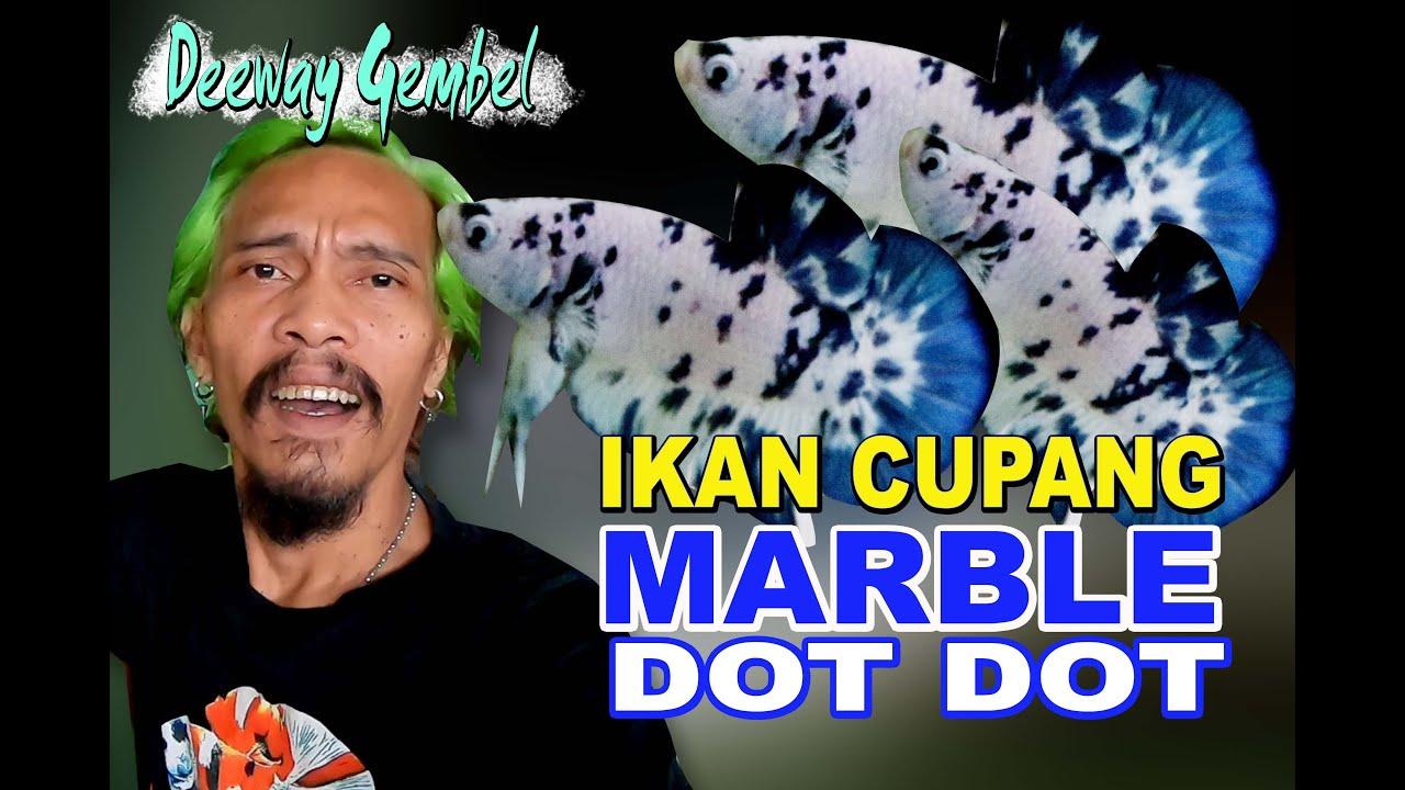 Ikan Cupang Marble Dot Dot Youtube