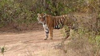 Диких тигров в Индии стало больше на 30% (новости)