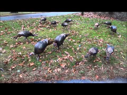 Turkey Feeding Frenzy