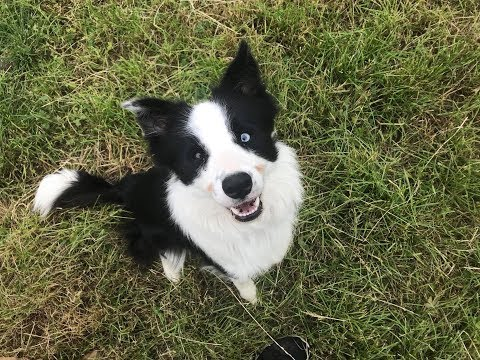 Gin - Border Collie - 4 Weeks Residential Dog Training