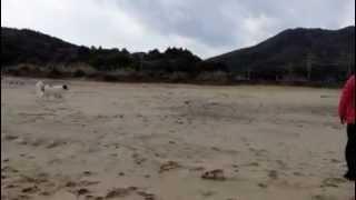 アメリカンコッカースパニエル、超大型犬と遊ぶとこんなハプニングも!