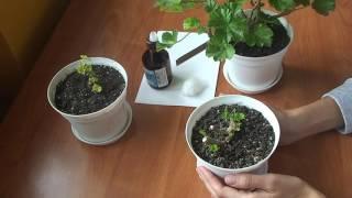 Обрезка герани для пышного цветения осенью: как правильно прищипывать герань на зиму (фото, видео)