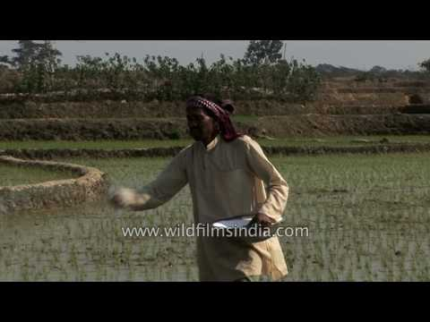 Farmer sprinkles fertilizer on his rice field in West Bengal