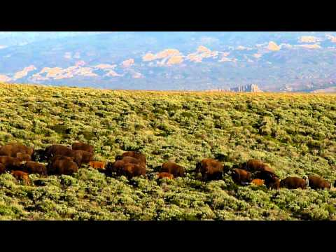 Wild buffalo herd 1, Henry Mountains, southern Utah