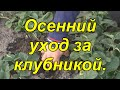 Уход за клубникой осенью. видео