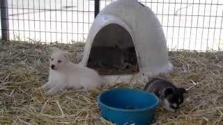 Husky Mix Puppies