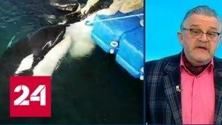 Животные страдают: спасать косаток и белух из бухты в Приморье нужно срочно - Россия 24