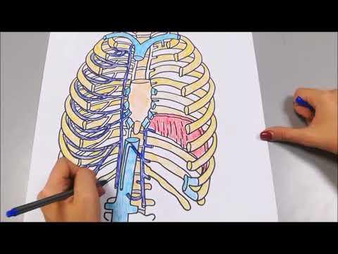 circulación, drenaje e inervación pulmonar.