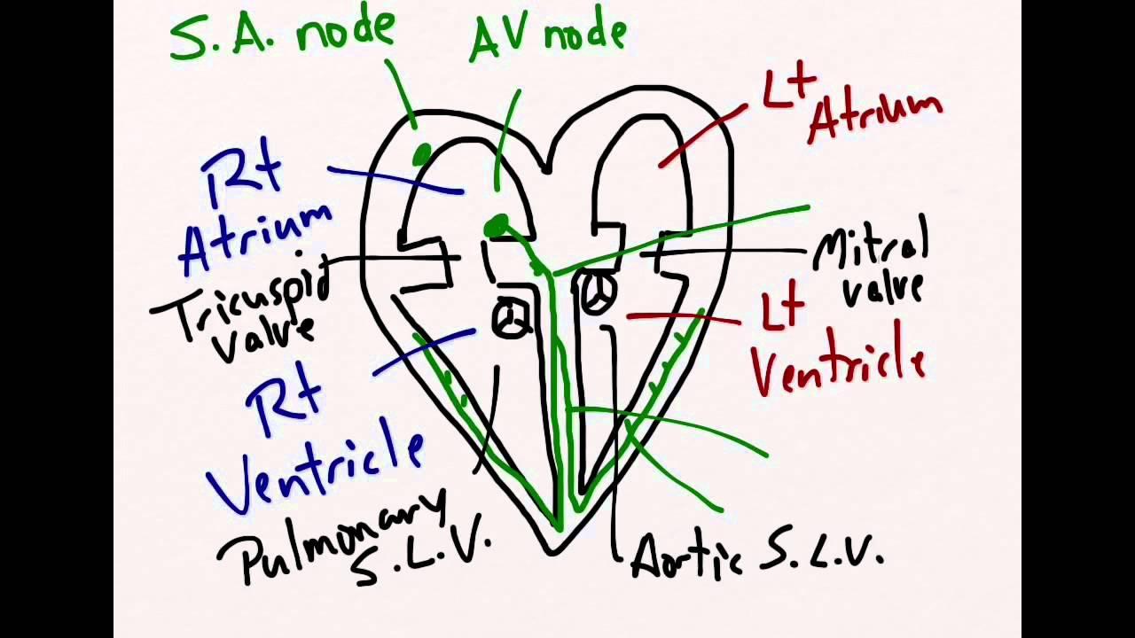 Youtube heart anatomy