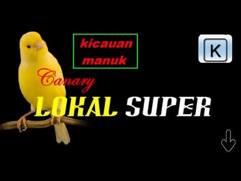 Download Lagu kenari lokal super juara, suara nyaring panjang dan ngelagu, MASTER JUARA