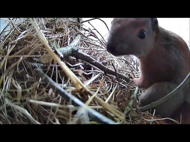 Eichhörnchen (Bless) schnuppert an Kamera! 04.03.2021