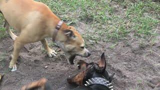 Doberman vs Pitbull   Play Fighting