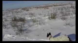 Охота по первому снегу с собаками.