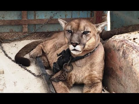 Mountain Lion Chained For 20 Years Experiences Freedom For The First Time…