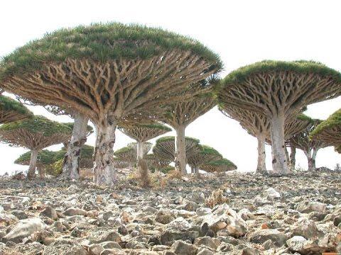 Сокотра Рай на Земле Голубая лагуна Белый песок Драконовое дерево Сказка моря Страна аромата