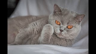 British shorthair : Kitten, sister and mom and toy 2
