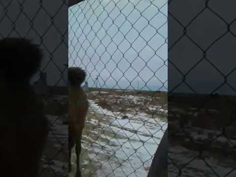 Дикие верблюды Мангистау