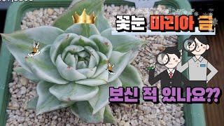 꽃눈 마리아 금 + 최상급 금 아이들